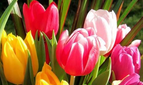 рассказ легенда о тюльпане, легенда про тюльпан для детей, легенда о цветке тюльпан