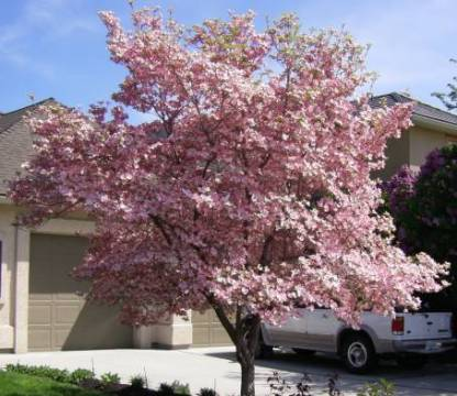 цветы похожие на сирень, кизил цветущий Cornus florida rubra, розовый кизил, красивый кизил