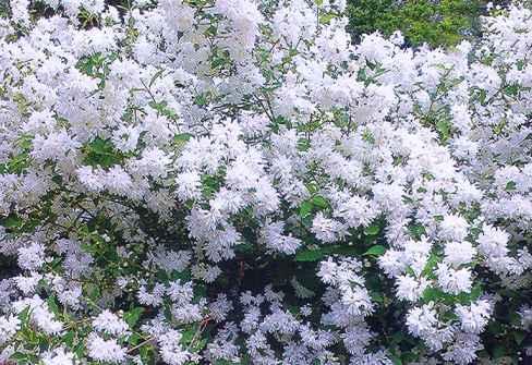цветы похожие на сирень, фото чубушника, чубушник, жасмин садовый фото