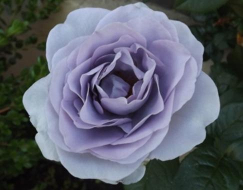 цветок серого цвета, серые цветы, роза серого цвета, серая роза, голубая роза.