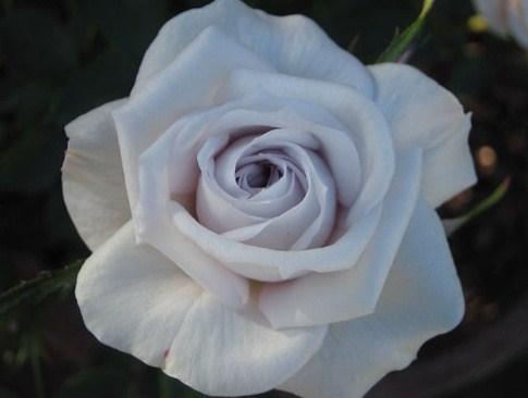 цветок серого цвета, серые цветы, роза серого цвета, серая роза