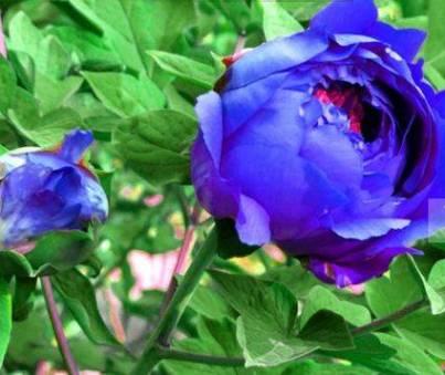 синие пионы, голубые пионы, пион голубой, голубой, голубые пионы фото