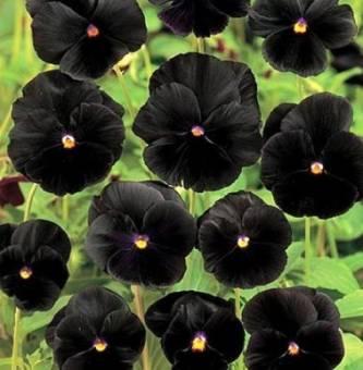 черные цветы, цветок черного цвета, какие цветы бывают черного цвета,