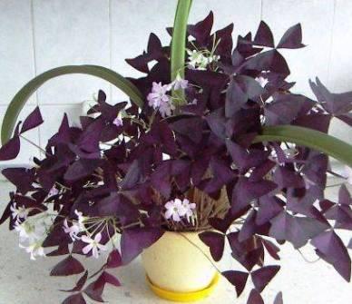 Комнатные цветы для семейного счастья, комнатные растения для семейного счастья, комнатный цветок для семейного благополучия,