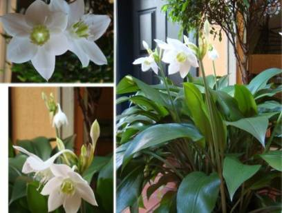 цветы похожие на лилию, цветок похожий на лилию, домашние цветы похожие на лилию, комнатный цветок похож на лилию