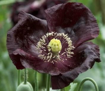черные цветы, цветок черного цвета, цветы черного цвета, какие цветы бывают черного цвета,