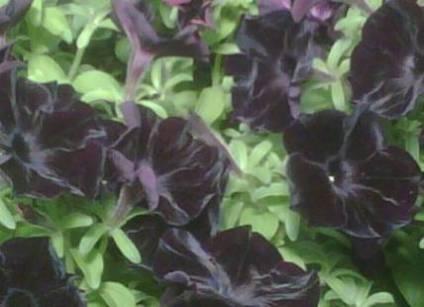 цветок черного цвета, черные цветы, черный цветок, растения черного цвета