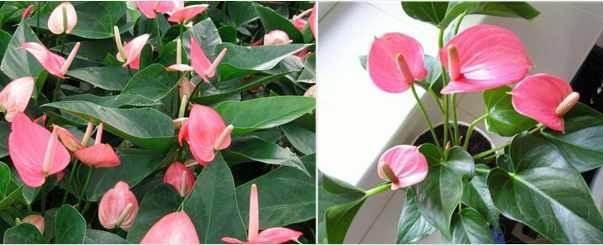 Антуриум андре уход в домашних условиях, розового цвета