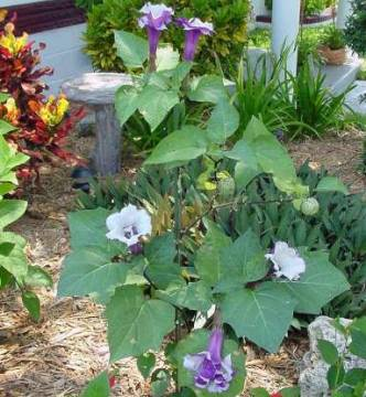 садовый дурман, дурман индийский в саду
