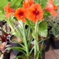 почему не цветет гиппеаструм, красный гиппеаструм в горшке