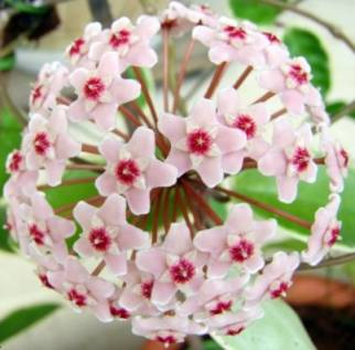 """почему не цветет хойя, цветок хойи """"Krimson Queen"""""""