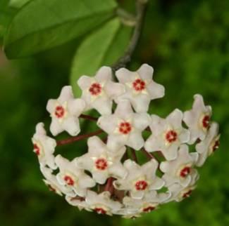 хойя уход в домашних условиях, белый цветок