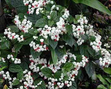 клеродендрум Томпсона уход в домашних условиях, белые цветки