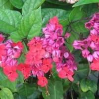 клеродендрум Томпсона уход в домашних условиях, розовые цветки