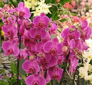 орхидея история происхождения,
