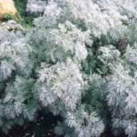 растения с серыми листьями, цветы серого цвета, полынь шмидта фото,