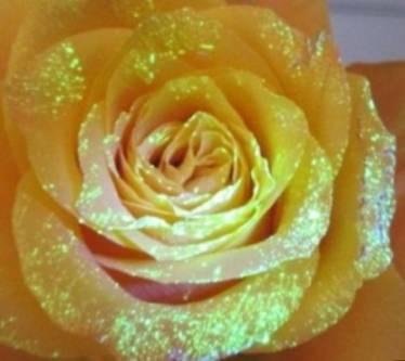 светящиеся цветы в темноте, светящаяся желтая роза от биогеля