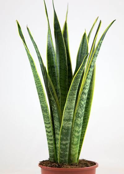 самые неприхотливые комнатные растения, сансивиерия тещин язык фото