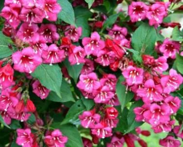 вейгела размножение, цветки розовой вейгелы