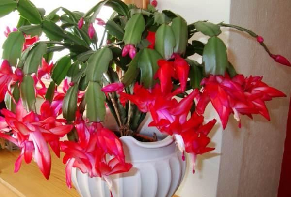 самые неприхотливые комнатные растения, зигокактус красного цвета, декабрист фото