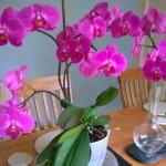 как поливать растения, полив орхидеи