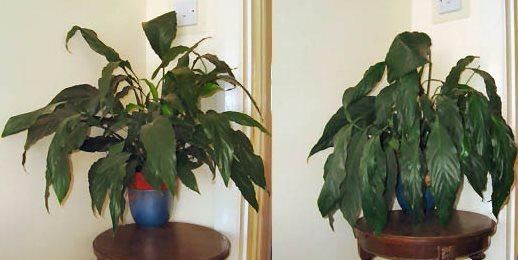 полив комнатных растений, недостаток воды у спатифиллума