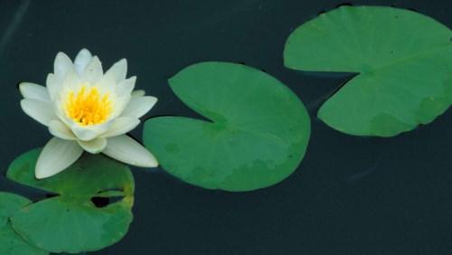 вода для полива комнатных растений, кувшинка в озере