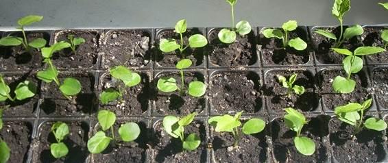 гибискус травянистый: размножение семенами, выращивание из семян
