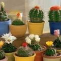 как правильно поливать кактусы, как часто надо поливать кактус