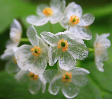 цветок двулистник грея после дождя