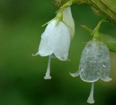 двулистник грея после дождя фото