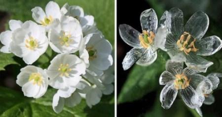 двулистник грея до и после дождя фото