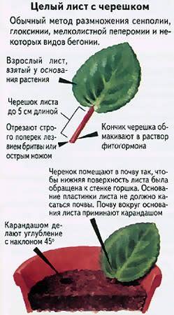 вегетативное размножение - целый лист с черешком