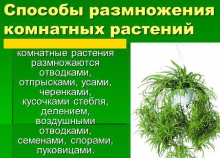 способы размножения комнатных растений