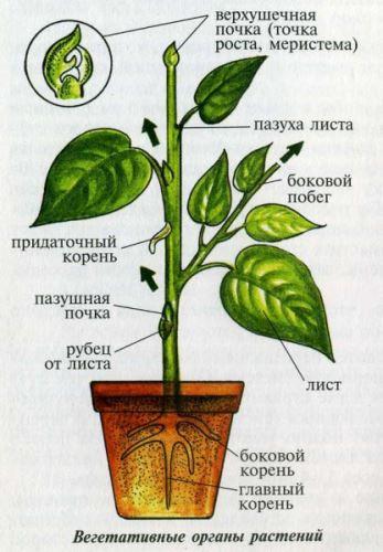 органы растений для вегетативного размножения