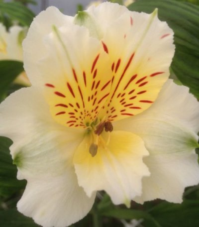 цветок похожий на лилию - альстромерия