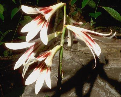 кардиокринум с белыми цветами, как у лилии