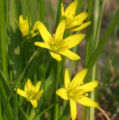 цветок гусиный лук желтый