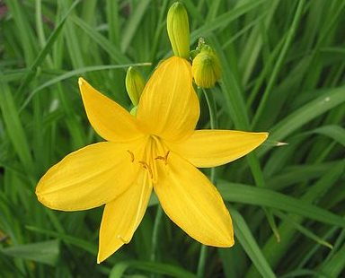 жёлтая ли́лия или красодне́в