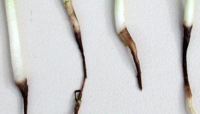 черная ножка на рассаде фото