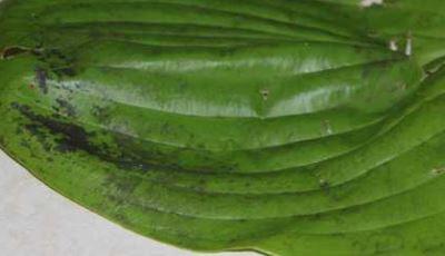 сажистый грибок на листе хосты