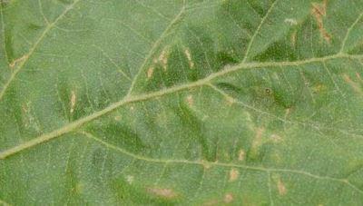 Эдема или водянка листьев