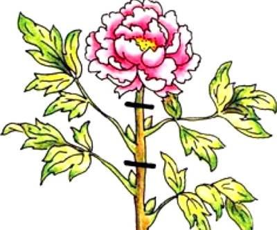 Обрезка травянистого пиона после цветения