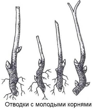 отводки пионов с молодыми корнями