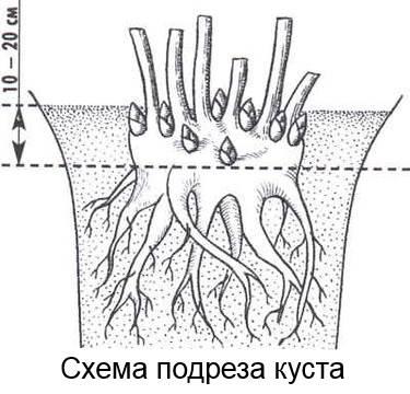 размножение пионов подрезом куста