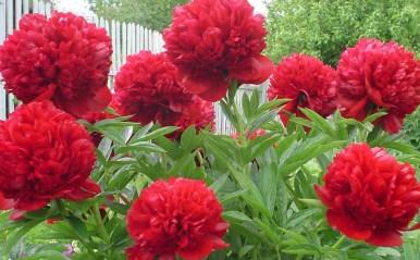 пион травянистый «Карл Розенфельд» (Karl Rosenfield) фото
