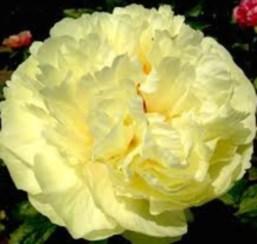 пион травянистый «Лимон Шифон» (Lemon Chiffon) фото