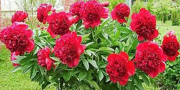 пион травянистый «Ред Чарм (Шарм) » (Red Charm) фото