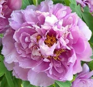 "Пион древовидный ""Голубой лотос"" (Lan Fu Rong - Blue Lotus)"
