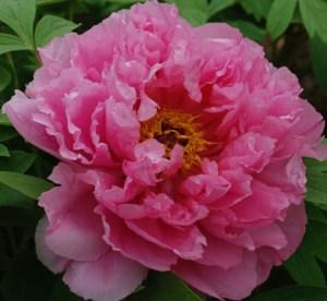 пион древовидный «Розовый лотос» (Rou Fu Rong - Pink Water-lily)